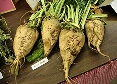 Beet, Sugar Beet,, Make Your Own Sugar, 500 Seeds Groco