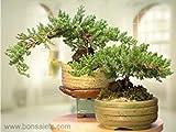 A Japanese Juniper Bonsai Tree - An Authentic Japanese Bonsai Plant Pot Home New