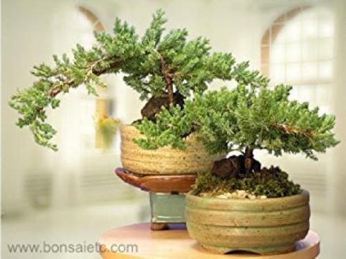 A Japanese Juniper Bonsai Tree - An Authentic Japanese Bonsai Plant Pot Home New by gk_usa_mall