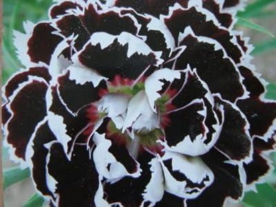 30+ Dianthus Black/white Velvet Lace Carnation Flower Seeds / Perennial