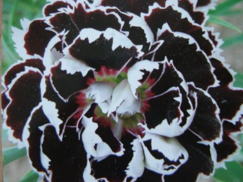 - 30+ Dianthus Black/white Velvet Lace Carnation Flower Seeds / Perennial