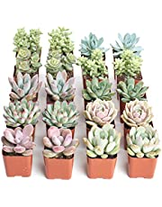 Shop Succulents | Premium Pastel Live Plants, Hand Selected Variety Pack Mini Succulents