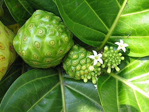 Improves circulation - NONI EXTRACT 500 Mg - Mengkudu - 6 Bottles 360 Capsules by PL NUTRITION (Image #6)