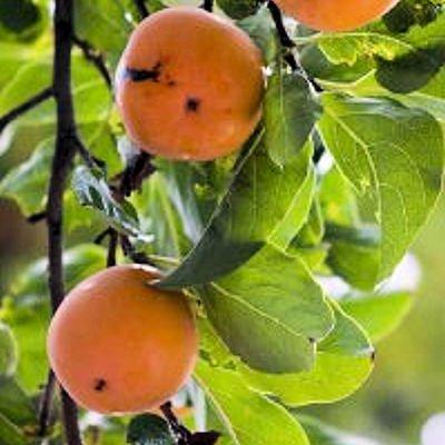 (PERSIMMON TREE Diospyros virginiana BULK 100 seeds)