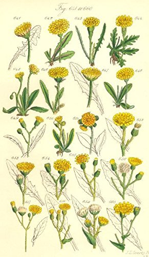 HAWK-BIT/HAWKWEED:Autumnal Hairy;Alpine Orange Glaucous Wood Soft.SOWERBY;1890