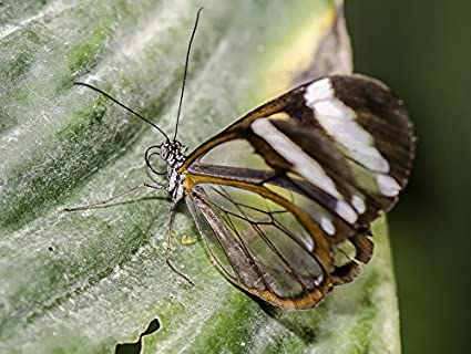 Amazoncom Home Comforts Canvas Print Insect Nature Glasswinged