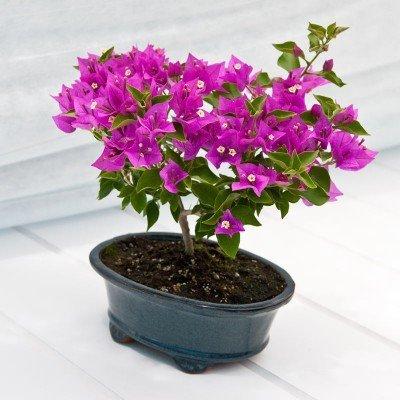 Beautiful Bougainvillea Bonsai – Live Plant - Green Gift - Live Flowers - Fresh Flowers - Bonsai Tree - Ships Fast - 2nd Day Express by Windowbox