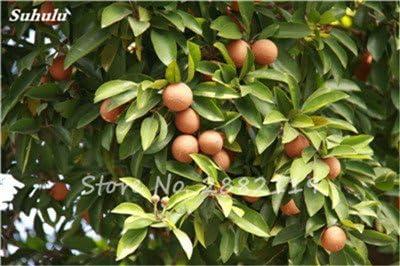 Hot 20 semillas PC Sapodilla al aire libre de semillas de árboles bonsai plantas Jardín Japonés Planta forma de la fruta como una fruta de mango tan delicioso 10: Amazon.es: Jardín