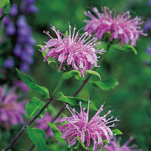 Bergamot Wild - Monarda fistulosa - 500 Seeds NutsnCones