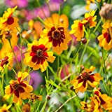 Outsidepride Coreopsis Plains - 5000 Seeds
