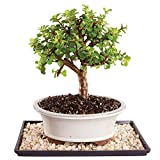 Brussel's Live Dwarf Jade Indoor Bonsai Tree - 5 Years Old; 8'' to 12'' Tall with Decorative Container, Humidity Tray & Deco Rock