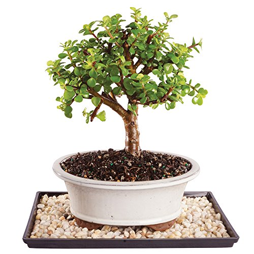 Brussel's Dwarf Jade Bonsai - Medium (Indoor) with Humidity Tray & Deco Rock by Brussel's Bonsai