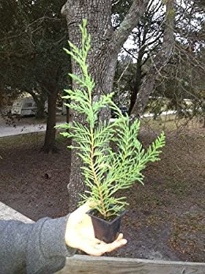 25 Leyland Cypress Trees 8-10 Inches Tall