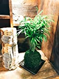 Kokedama (Moss Ball) with Green Polneanthebella Palm Comes with Saurcer, 3 X 3 X 9 Inch Tall
