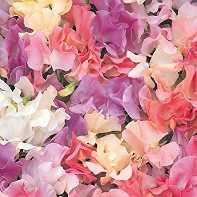 Annual Heirloom Pastel Mix Sweet Pea Certified 25 Seeds #004 Item UPC#636134972793