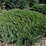 Broadmoor Juniper> Juniperus sabina 'Broadmoor'> Landscape Ready 2 gallon Container
