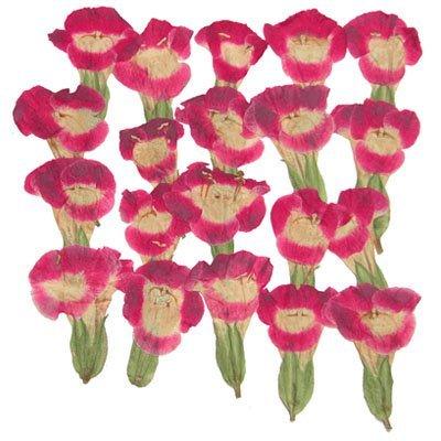 Silver J Pressed flowers, pink Torenia 40pcs, floral art, craft, card making