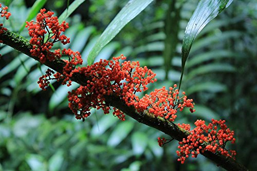 LAMINATED 36x24 inches Poster: Jungle Costa Rica Plant Central America Exotic Tropical Flower Tropics Rainforest Nature Blossom Bloom Travel Holiday Around The World Postcard Cloud Forest Red ()