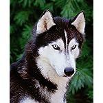 Siberian Huskies (Complete Pet Owner's Manual) 7