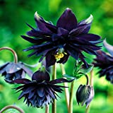 Aquilegia vulgaris Black Barlow - 3 plants