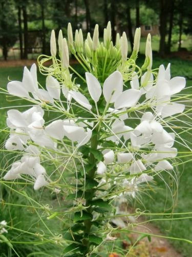 te Flower Seeds/Deer Resistant/Fragrant/ Tall/Hardy ()