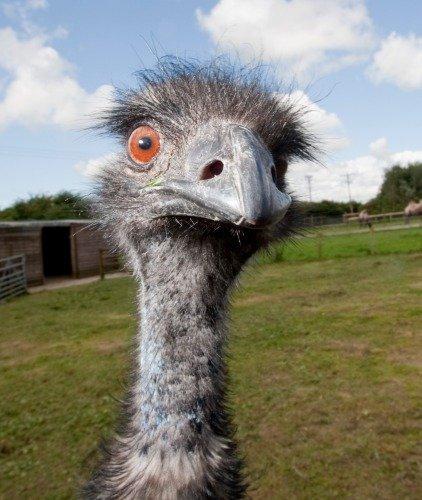 ConversationPrints EMU POSTER PICTURE PHOTO PRINT BANNER bir