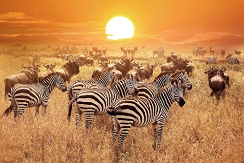 Poster Foundry Zebra at Sunset Serengeti National Park Tanzania Africa Photo Print Stretched Canvas Wall Art 24x16 inch