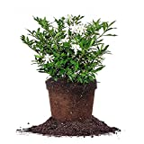 Frostproof Gardenia - Size: 1 Gallon, Live Plant, Includes Special Blend Fertilizer & Planting Guide