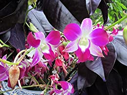 Dendrobium-phalaenopsis Sonia from the Orchid family with 28000 species .
