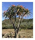 Aloe bainesii - Tree Aloe - 50 Seeds