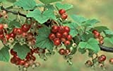 """Bareroot Red Lake Currant Bush Live Red Fruit Potted Jelly Makers Love It 2.5""""Pot Outdoor Get 1#HGN01YN"""