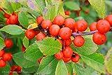 """Little Goblin Orange Winterberry - 4"""" pot - Ilex - Proven Winners"""