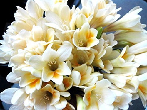 Freesia Stems - Freesia Heirloom Antique Alba (White w/ yellow highlights) - 20 robust bulbs EXTREMELY FRAGRANT!