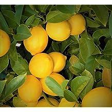 """LEMON TREES LIVE PLANTS 3""""- 6"""" EDIBLE YELLOW CITRUS FRUIT LANDSCAPING STARTER SAPLING SEEDLING"""