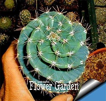Nuevo Jardín Fresco plantas 30 unids/pack Cactus Bonsai Variedad Floración Color bonsai Cactus Raras Lithops Ollas Oficina Mini Planta Succul: 10: ...