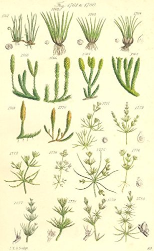 WILD FLOWERS. Pillwort Quillwort Club-moss Nitella Chara. SOWERBY - 1890 - old print - antique print - vintage print - Botanicals art prints