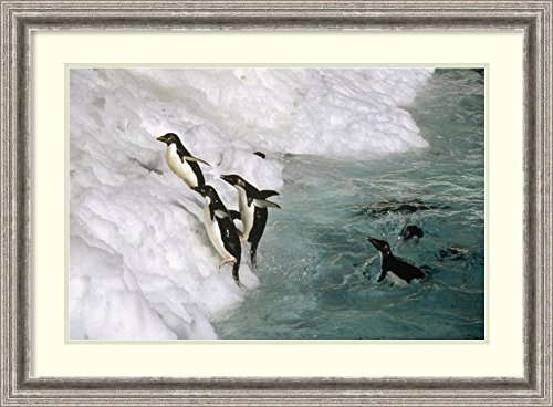 framed-art-print-adelie-penguin-group-leaping-ashore-foyn-island-antarctica-by-tui-de-roy