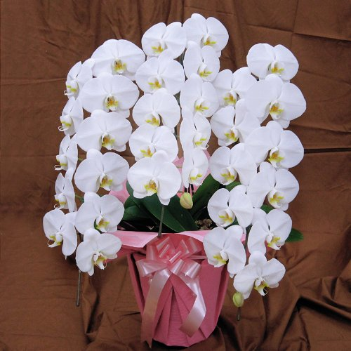 母の日 プレゼント 花 胡蝶蘭 豪華商品 お届け日指定可能 B007ST4S8G