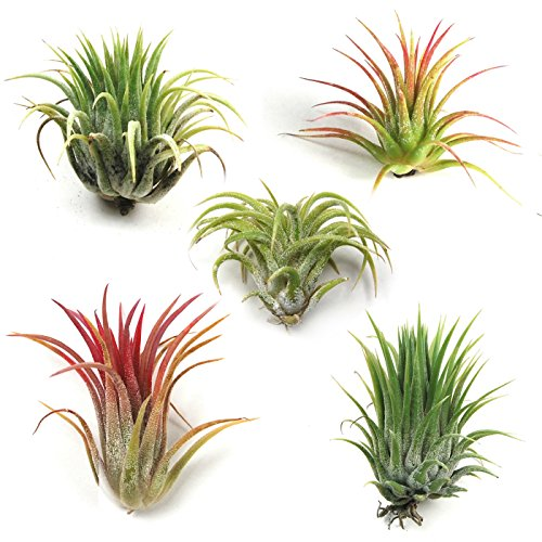 Air Plant Shop's Tillandsia Ionantha - 5 Pack - Free PDF Air Plant Care eBook with Every Order - 5 Pack Air Plant Variety - Fast Shipping from Florida by The Air Plant Shop