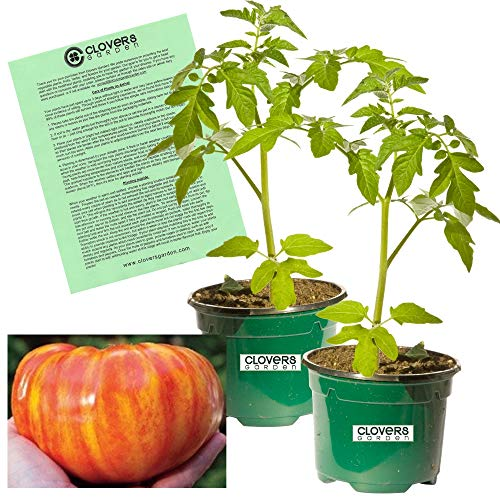 Clovers Garden Big Rainbow Tomato Plant - Non-GMO - Two (2) Live Plants - Not Seeds -Each 5