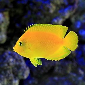 Amazon | (海水魚 ヤッコ)ヘラ...