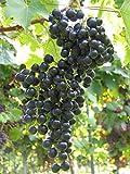 Vitis vinifera Muscat Bleu blaue Weinrebe Tafeltraube mehltauresistent Preis nach Größe 100-150 cm