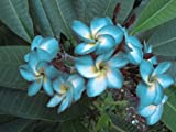 ''BLUE HAWAII'' FRAGRANT PLUMERIA'S CUTTING WITH ROOTED 7-12 INCHES REGISTERED TRACK ONLINE 100%GUARANTEE SATISFICATION