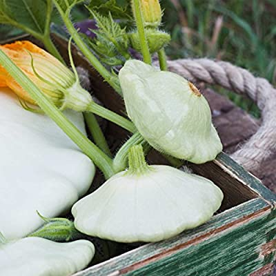 Bennings Green Tint Scallop Summer Squash Garden Seeds - Non-GMO Vegetable Gardening Seeds