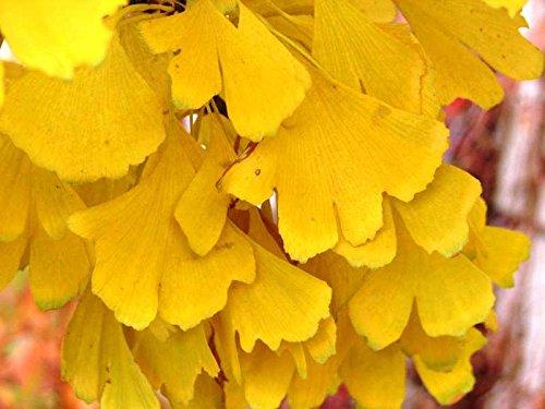 DWARF GINKGO TREE - Ginkgo biloba 'Spring Grove' - 1 - YEAR PLANT