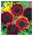 David's Garden Seeds Sunflower Evening Sun 7441 (Orange) 50 Organic Seeds