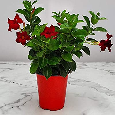 Live Dipladenia Mandevilla Plant - Red Dipladenia Bush - 14 inch Overall Height - 6 inch Planter Pot (1 Gallon) - Tropical Plants of Florida : Garden & Outdoor