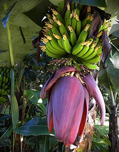 (Home Comforts Canvas Print Costa Rica Bananas Bloom Fruits Blossom Green Vivid Imagery Stretched Canvas 32 x 24)