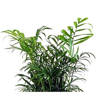 Hirt's Victorian Parlor Palm - Chamaedorea - 4