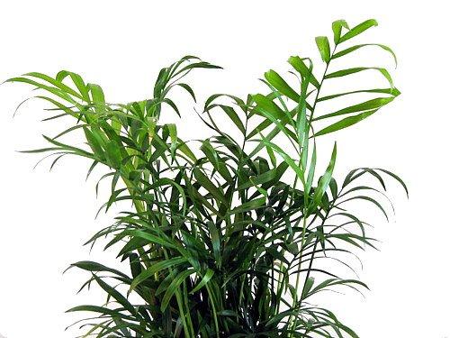 Hirt's Victorian Parlor Palm - Chamaedorea - 6'' Pot